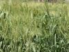 Graan op het veld buiten het dorp: niemand hoeft honger te lijden, een voedselprogramma van de overheid zorgt indien nodig voor enige verdeling